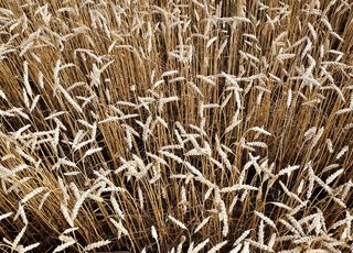 Sowing, cultivation and fertilization of winter wheat