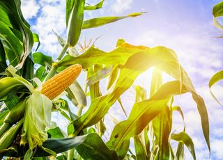Growing maize for grain