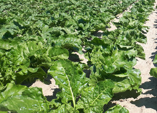 Preparation of the position and optimal fertilization of sugarbeet