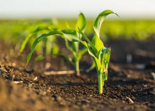 Corn sowing - when, how and where? See what you need to remember